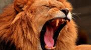 Африканский лев на охоте